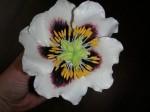 innere Blütenblätter