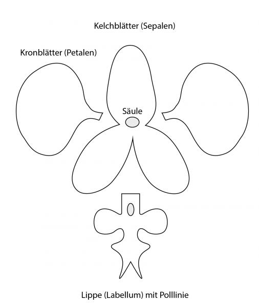 Orchidee Vorlage